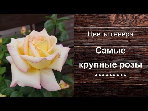 Самые крупные розы в саду, на даче.
