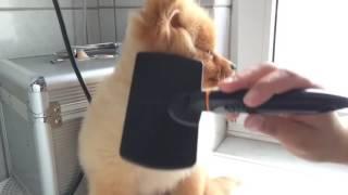 ウトウト…ブラッシングされながら寝ちゃうポメラニアンの子犬(動画)