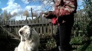 Аппортировка урок 1  Мареммо абруцкая овчарка Миф