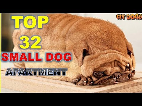 Top 32 Small Dog Breeds For Apartments [HD]