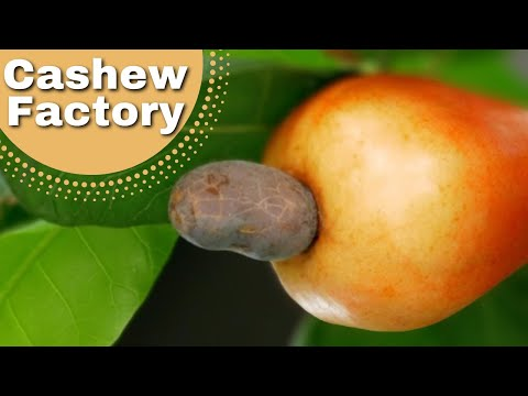 Ever Wondered Where Cashew Nuts Come From