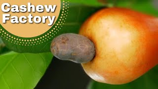 Ever wondered where cashew nuts come from?❤️️ thumbnail