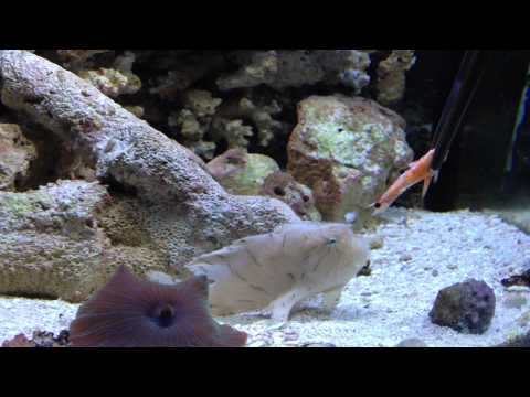 Crazy big mouth frogfish tries to eat flounder funnydog tv for What do angler fish eat