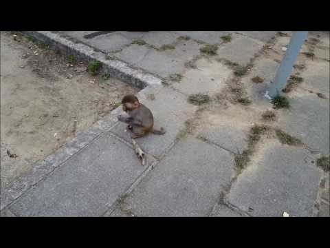 Baby monkey approaches humans for begging