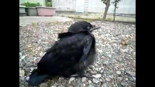 [驚愕]異常現象 福島で動けなくなった鳥が続出!!放射能の影響か? thumbnail