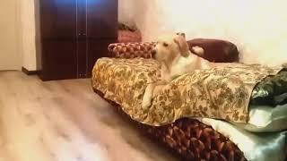 Собака собирается на работу