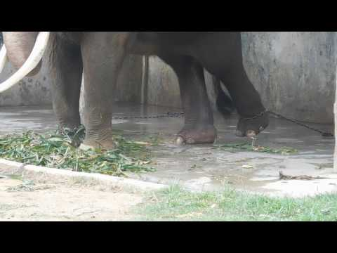 The elephant is chained by both legs in Bukittinggi Zoo, West Sumatera