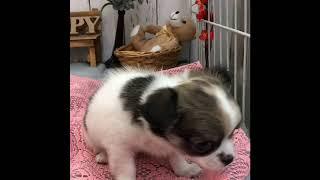 ペットショップ 犬の家 倉敷店 「チワワ」「96797」 thumbnail