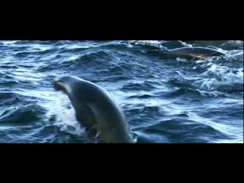 Great white shark grabs seal - amazing HD Quality footage  - Must See