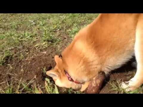 柴犬もも お芋と穴掘りに夢中 Momo loves to dig a hole, and the sweet potato