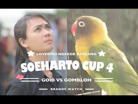 Suara Lovebird GOIB VS GOMBLOH Curi Perhatian Kicaumania Di SOEHARTO CUP 2017