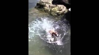 ミニチュアブルテリア・ヴォルフィの初めての海水浴。生まれて初めて見...