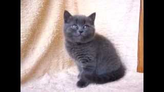 Британские котята ridolina.ru