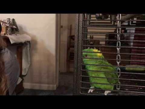 Caesar the fun talking Yellow Naped Amazon Parrot!