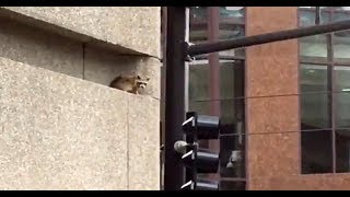 Spiderman like raccoon conquers US skyscraper