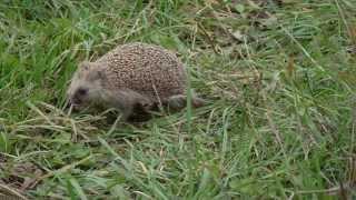 Ёж и лягушка. Тверская область, Краснохолмский район. Hedgehog and frog.
