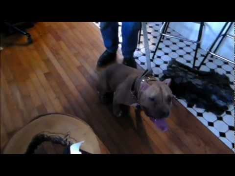 Cat Aggressive Pit Bull  - DOG INTERVENTION Dog Whisperer/Interventionist BIG CHUCK MCBRIDE