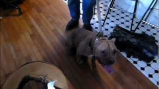 Cat Aggressive Pit Bull  - Dog Intervention Dog Whisperer/interventionist Big Chuck Mcbride