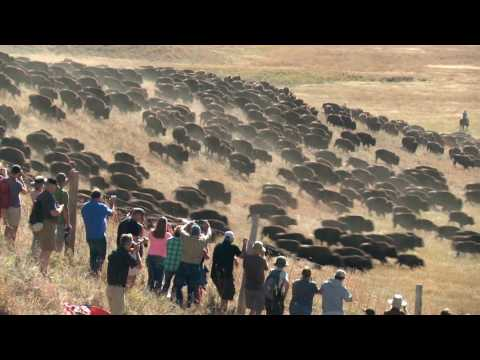 Custer State Park Buffalo Roundup.  Camera angles.