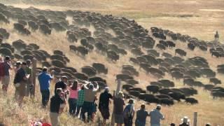 Custer State Park Buffalo Roundup.  Camera angles.