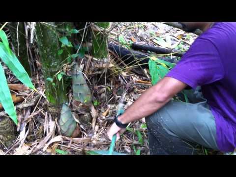 The Art of Cutting an Organic Bamboo Shoot - ศิลปะแห่งการเก็บหน่อไม้อินทรีย์