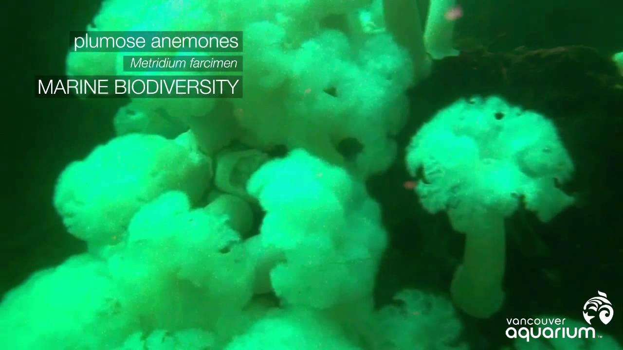 Ananomie Videos spotlight on howe sound marine life: plumose anemone