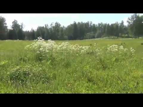 Козлятник восточный — описание, полезные свойства, применение