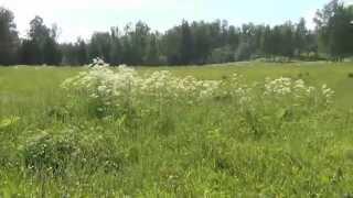 видео Растение Борщевик