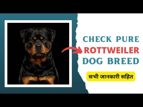 How to check pure rottweiler breed ( check purity of rottweiler ) Mukhtiar petcare