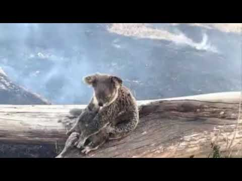 🔥 🐨 😞I am, you are, we are Australian... a tribute. 🎥 Tammy Roberts