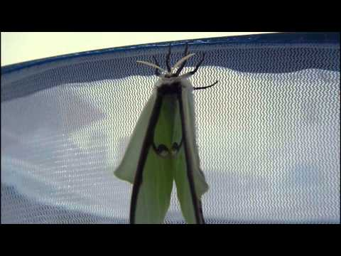 Luna Moth emerging from cocoon and unfurling wings
