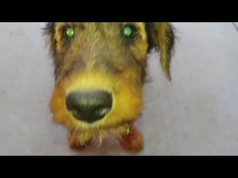 Early Morning Front Porch Airedale Terrier Puppy Puppies For Sale On July 16, 2018