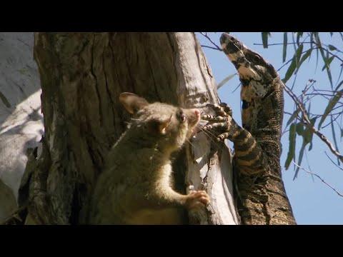 Possum fights Monitor