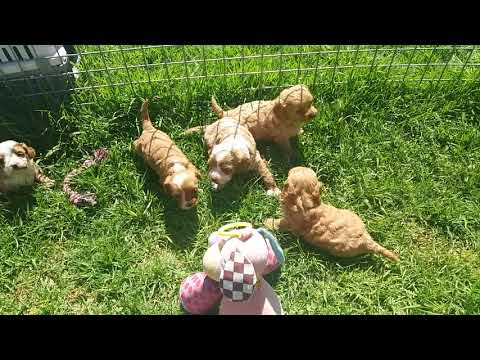 Toy cavoodle pups