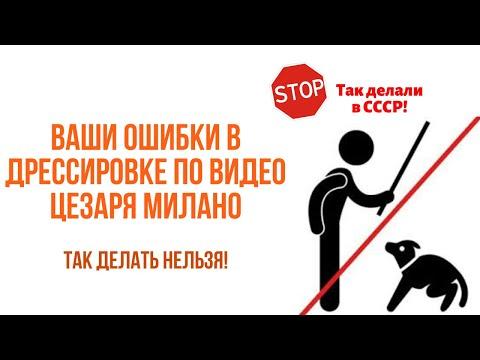 видео: Ваши ошибки в дрессировке по видео Цезаря Милано - так делали в СССР! Отучаем собаку тянуть.