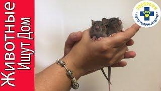 Крыски Ищут Владельцев