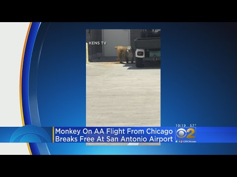 Baboon On Flight From Chicago Escapes Cage At San Antonio Airport