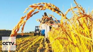 Harvest seasons gets underway in China