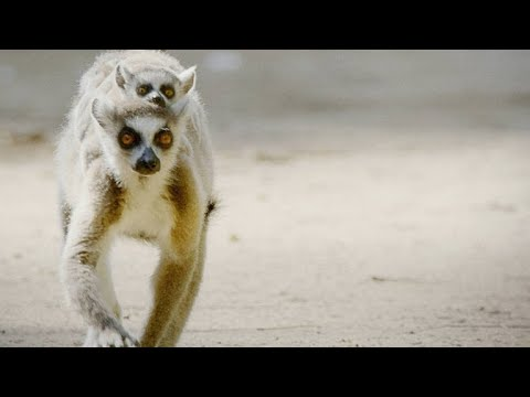 These Feisty Female Lemurs Fight With Babies on Their Backs