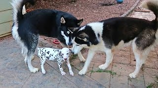 2-huskies-and-a-malamute-reaction-to-dalmatian-puppy