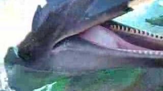Dolphin Talking