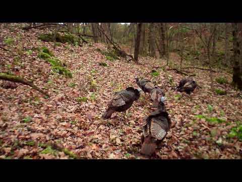 Turkey Hunting In NE Iowa Allamakee County