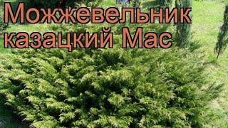 Можжевельник казацкий Мас (kazatskiy-mas) ???? обзор: как сажать, саженцы можжевельника Мас