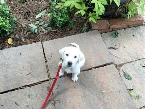 8 Week English Labrador Retriever Archie