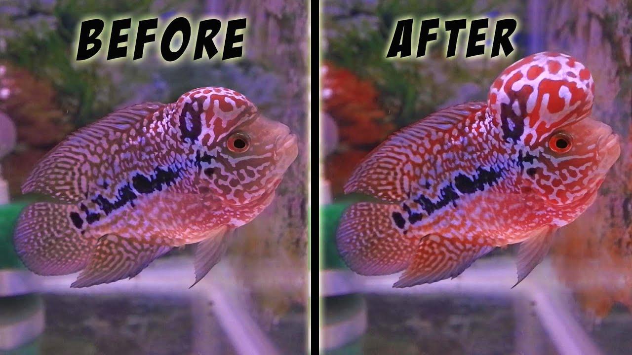 5 Tips Agar Ikan Louhan Cepat Jenong Youtube