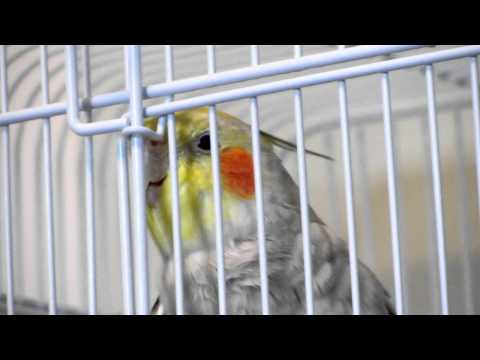 Rex the Cockatiel Sings the Theme of Chocobo