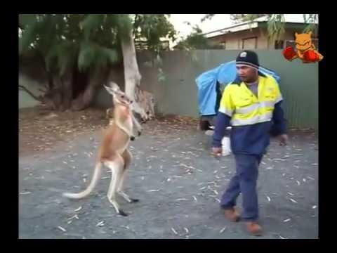 Boxing Kangaroo Attacks On Human In The Street TOP 3   Boxing Kangaroo