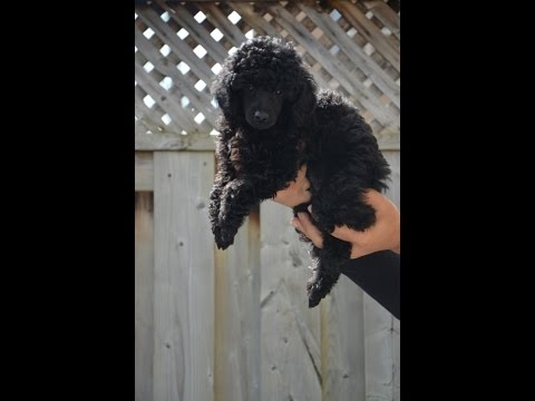 Miniature Poodle Puppy - Confidence & Balance Training - 8 weeks old - 2017