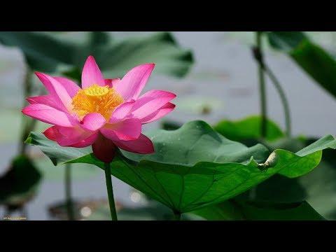 ЛИЛИИ  НА  ВОДЕ.       Lilies on the water