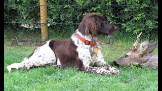 My best hunting dog ever, Molly the Munsterlander aka (Dolly Vom Ho...